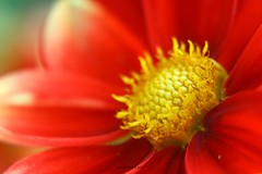DAHLIA (PHOTOPHOB) Tags: dahlia flowers autumn red summer plants plant flores flower color macro rot nature fleur beautiful beauty fleurs germany garden petals spring colorful flickr estate autum stuttgart blossom sommer herbst natur flor pflanze pflanzen blumen zomer verano bloom blomma dalie t blume fiore blomst asteraceae dahlias dalia nahlinse frhling yaz bloem floro kwiat closeuplens killesberg dahlie dahlien kvt blomman blomsten lestate masterphotos dalio photophob wonderfulworldofflowers mygearandmepremium mygearandmebronze