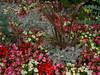 flowers 2 (cooliceblue) Tags: flowers regentspark img5651