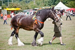 IMG_2070 (Tony Golding) Tags: canon flickr mare shire sesha drafthorse plait shires workinghorse ardenne gelding gentlegiants suffolkpunch plaiting countryshow heavyhorse canon400d kentlife tonygolding heavyhorsephotography southeastshirespringshow forgetmenothere