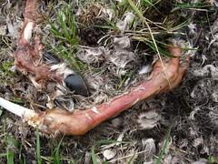 Caribou Legs (Travis S.) Tags: red rotting grass flesh fur reindeer skeleton bay toes legs skin bones limbs hoof caribou hind tundra decayed decaying aleutians hooves threetoed adak scabbard rangifertarandus scabbardbay