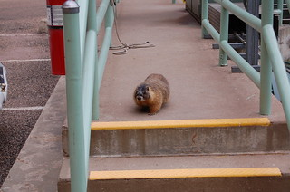 Flaming Gorge Dam Marmot