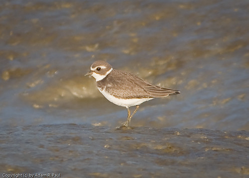Semipalmated Plover by you.
