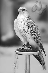 براق - طيري موديل 2009 (● Maitha ● Bint ●K●) Tags: new bw white nikon uae falcon g1 nikkor 2009 d3 70200mm 200mm g1uae wwwg1uaecom