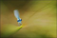 Un de mes derniers soir d'été (Aliocha Photographie) Tags: macro bug de la dragonfly bokeh un normandie demoiselle forge soir mes marais insecte libellule proxy selle jonc flers dété agrion odonate derniers messei damsfly