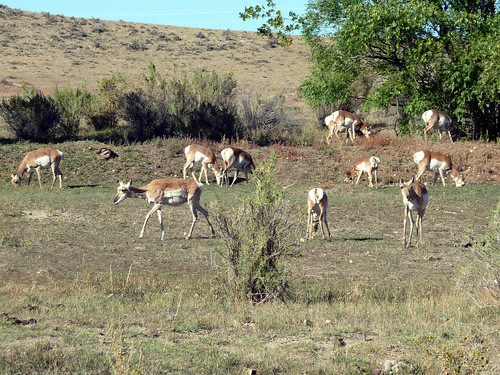 lots of pronghorn