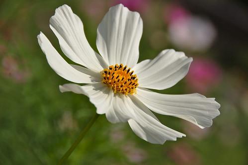 コスモス - その3 同じ花をon greenで
