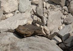 sad toad (Matteo Scala) Tags: nikon toad d200 sole rana morto secco rospo matteoscala