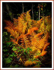 Fine Fern Family (clickclique) Tags: brown green fall forest golden woods ferns breathtaking autumnfall fineartphotos canonpowershots3 godsartwork flickrdiamond