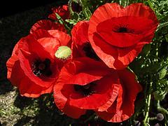 Papoulas (Martha MGR) Tags: flowers red flores nature rouge natureza flor vermelho vernissage landscaps camposdojordo mmgr marthamgr reservaespecial 4msphotographicdream 3msroyalflowers 2msroyalstation marthamariagrabnerraymundo marthamgraymundo