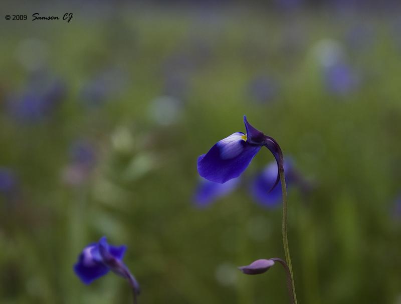 Utricularia Pupurascens