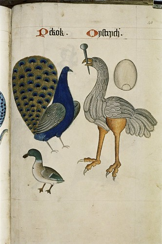 Peacock and Ostrich with its egg above it. Duck.