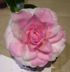 C. japonica 'Betty Ridley var' (Hume Camellia Society) Tags: betty ridley