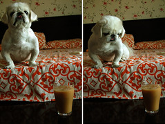 Please??? (starsinmysocks) Tags: life dog pets love coffee friend floor random 9th nikond40 doggard