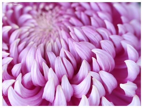 Chrysanthemum #01