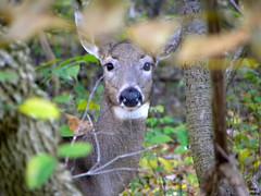 Doe (Bill Maksim Photography) Tags: wild nature woods wildlife hike deer pymatuning deers jamestown whitetail spillway maksim linesville