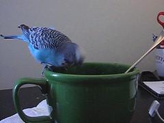 Bird Games:  The sequel (Knitting B) Tags: bird animal budgie parakeet