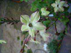 pale green datura