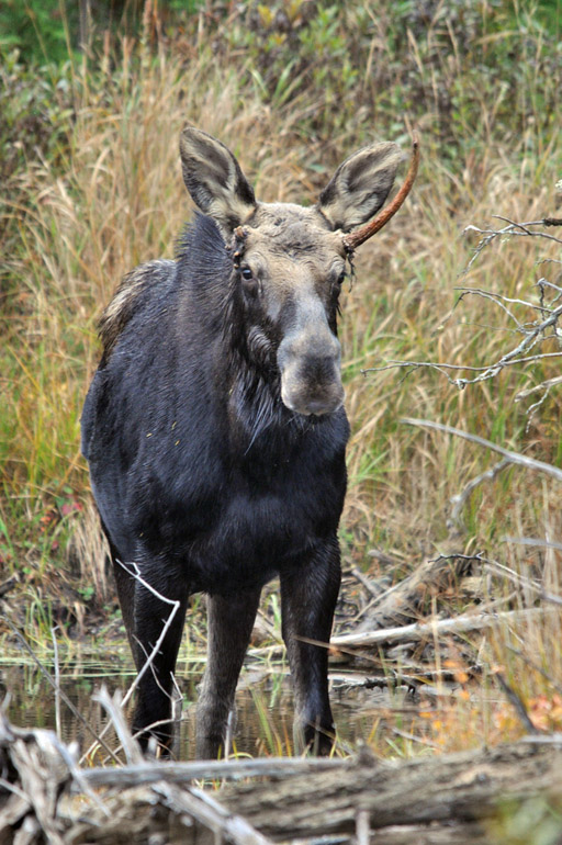 moose_vertical_0034
