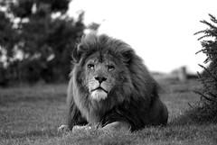 King of the Beasts B&W (Garethjames181) Tags: blackandwhite sony 70300mm a200 tamron westmidlands safaripark bewdley sonyalphaa200 sonyalpha200 tamronaf70300mmf445telemacroa17