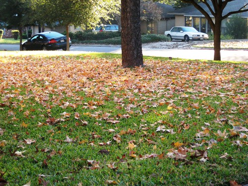 neighbor's sweet gum tree in Autumn 2009 (2) (by Ateupamateur)