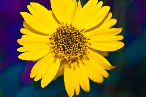 Psychodelic Daisy - 160/365 - 15 November 2009