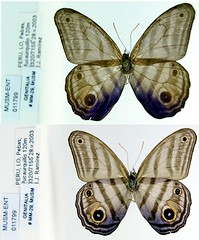 Chloreuptychia chlorimene