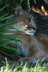 Florida Panther (Dave 2x) Tags: cat florida sony davie panther floridapanther flamingogardens 70400mm sonya900 daveirving httpwwwdaveirvingwildlifephotographycom