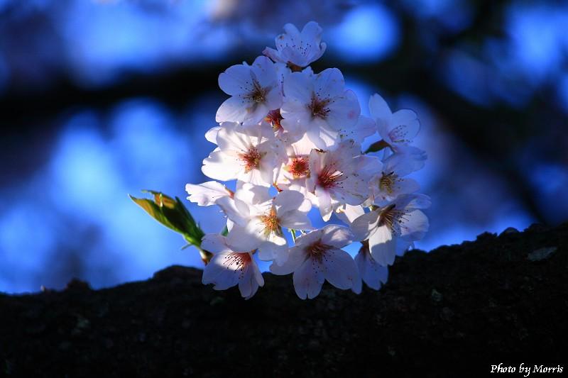 03E 阿里山櫻花季