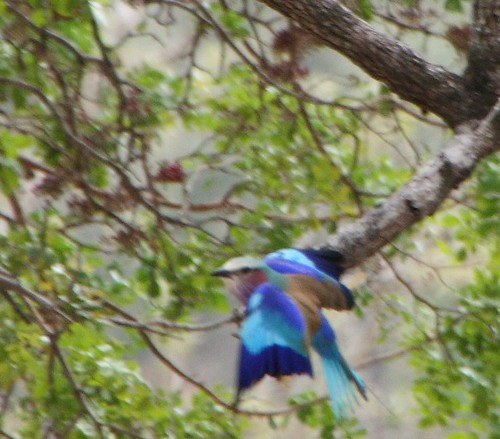 4169131223 34ef0fc426 Lilac Breasted Roller