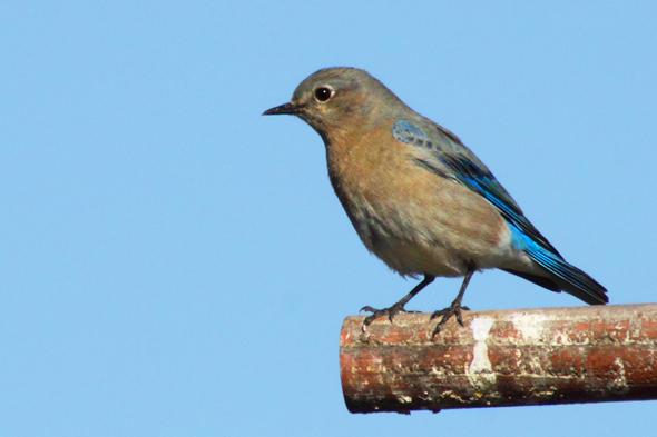 437_mountainBluebird
