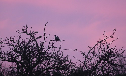Collared Dove at Sunrise