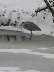 Cold heron (dutchveryess) Tags: heron dordrecht biesbosch
