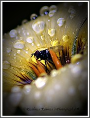 Trapped in wet! #2 ( Rizalman Kasman Photography) Tags: flower nature wet rain closeup fly flora wildlife 1001nights trap raindrop 1001nightsmagiccity