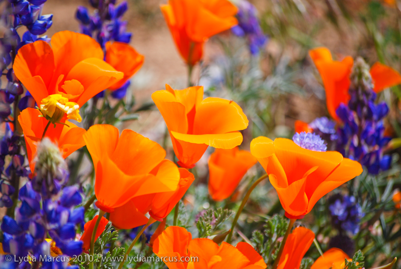 CA Poppies & Lupine_TejonRanchConservancy-2