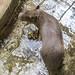 Capybara Gamboa Wildlife Rescue pandemonio 2017 - 02