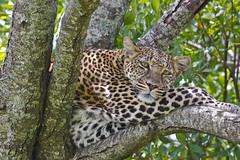 Female leopard Supu in favourite tree (wallb88) Tags: kenya leopard masaimara supu