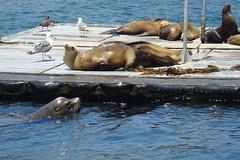 Sunbathing (Erin Grant) Tags: sealion sandiegobay sealboat