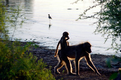 za.kruger.2005.135 (africadunc) Tags: 2005 africa baby south mother riding national baboon kruger lowersabie chacma sunsetdam