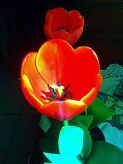tulipn (krisred1955) Tags: flower nature mxico tulip mexicali tulipn tulipanes