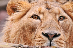 The eyes of Radja (Tambako the Jaguar) Tags: wild portrait male face closeup cat zoo switzerland big eyes nikon feline leo zurich lion kitty zrich lwe felid d300 panthera pantheraleo