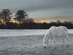 Horse at Serenbe Farms (Max Eremine) Tags: sky horse sun white snow ice grass animals landscape dawn frost olympus evolt e500 serenbe