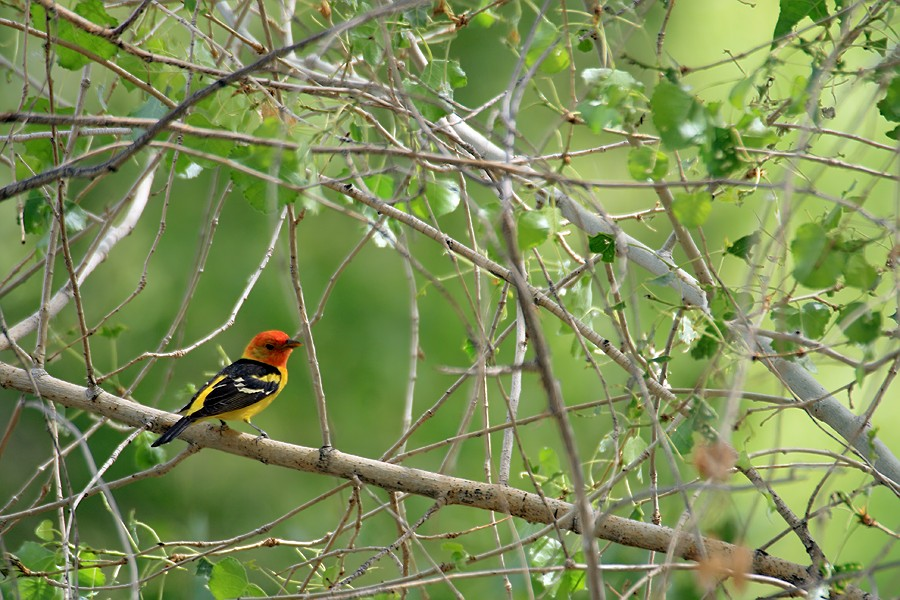 Western Tanager05091