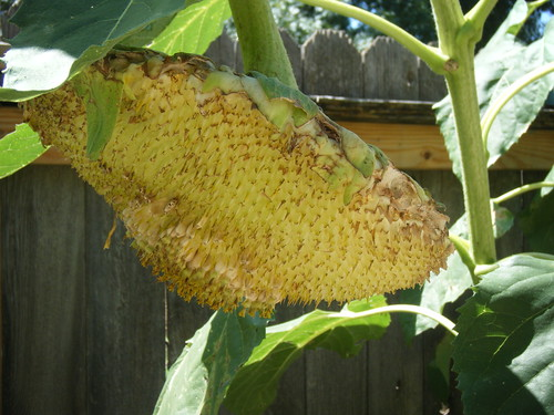Mammoth Sunflower with eaten seeds