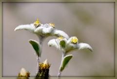 Leontopodium alpinum (Stella alpina) (paolo-55) Tags: macro flora nikon natura d300 leontopodiumalpinum stellaalpina floraalpina passoselle 105mmvrmicronikkor flowersarebeautiful theunforgettablepictures excellentsflowers natureselegantshots thebestofmimamorsgroups