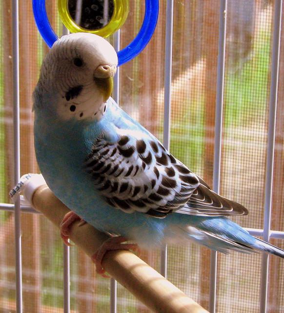 Tiki the Parakeet