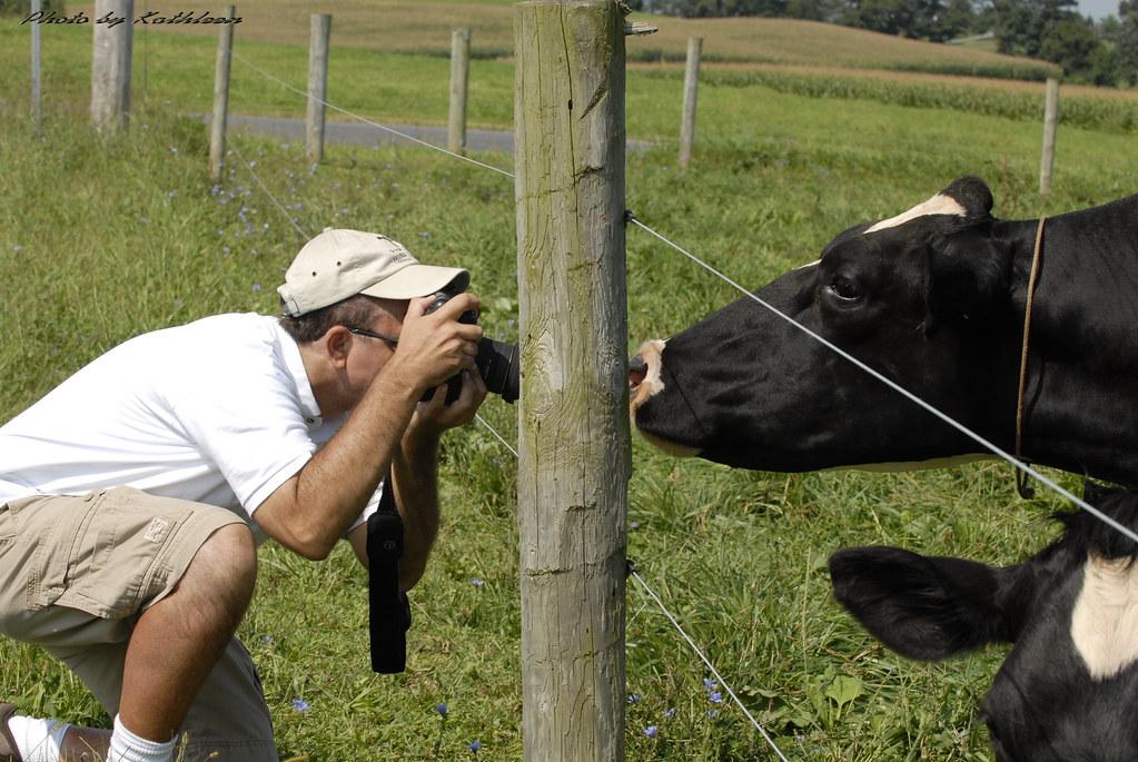 Lancaster Cow