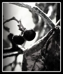 Berries in Black & White (Eirreannach) Tags: autumn white black leaves berries know dont if limbs twisty eatingthese whataprettysight iwouldtry