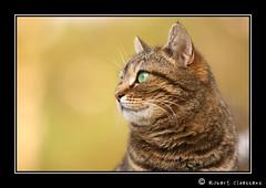 Pap's (Robert Claessens) Tags: pet cats robert nature animal animals closeup cat canon chats kitten katten kat feline chat europa europe dof belgium belgique belgie zoom natuur bob animaux belgica pdc chaton grosplan flin wallonie animauxdomestiques claessens 40d animaldomestique