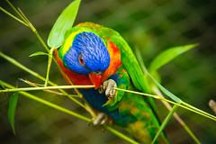 Hands off my weed!!!! (Money Munni) Tags: birds oregon portland aviary lorikeets avian allrightsreserved oregonzoo nhiatyang