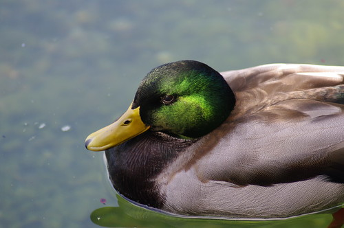 mallard with tamron 70-300mm f/4.0-5.6 Di LD Macro